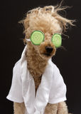Poodle In Cucumber Eye Mask Stock Photo