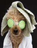 Poodle In Cucumber Mask and Towel Stock Images
