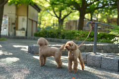 Poodle. Cute poodle in the park Stock Photos