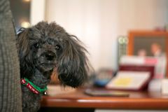 Poodle at the Desk. A black toy cup poodle sitting in an office chair at a desk Stock Photo