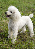Poodle dog Stock Photos