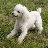 Poodle Dog Stock Image