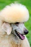 Poodle dog Royalty Free Stock Photography