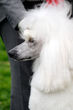 Poodle dog Stock Images