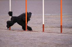 Poodle in dog agility action. Black poodle weaves  in dog agility competition, an exiting dog sports event Royalty Free Stock Photos