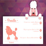 Poodle dog banner Stock Photo