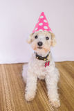 Poodle Dog with a Birthday Hat Royalty Free Stock Photography