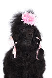 Poodle dog Stock Image