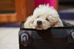 Poodle dog in black suitcase. Poodle dog laying in black suitcase waiting to go Royalty Free Stock Photography