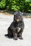 Poodle dog Stock Photos