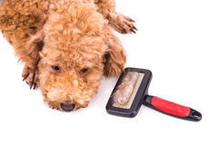 Poodle dog after brushing with  detangled fur stuck on brush. Brown curly poodle dog after brushing with  detangled fur stuck on brush Royalty Free Stock Photo