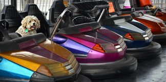 Poodle Dog in Bumper Cars Royalty Free Stock Images