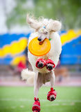 Frisbee poodledog catching Stock Photography