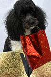 Poodle dog with christmas gift Stock Image