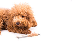 Poodle dog after combing, with  de-tangled fur stuck on comb Royalty Free Stock Photography