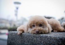 Poodle dog cute stock photos