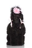 Poodle dog with a hairdo Stock Image