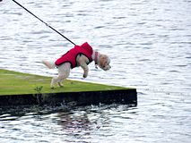 Poodle dog hanging in the air. White poodle dog hanging in the air while looking into water, red clothes, southport park, england, united kingdom Stock Photography
