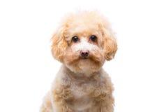 Poodle dog Royalty Free Stock Image