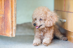 Poodle dog lay on the floor Royalty Free Stock Photography