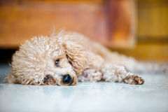 Poodle dog lay on the floor. Poodle dog lay on the marble floor Royalty Free Stock Photography