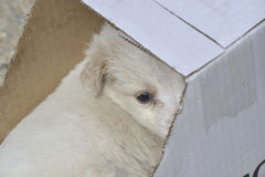 poodle dog left in a cardboard box for adoption Royalty Free Stock Image