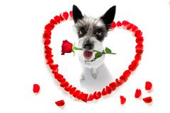 Happy valentines dog. Poodle dog in love for happy valentines day with petals and rose flower , looking up in wide angle stock images