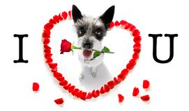 Happy valentines dog. Poodle dog in love for happy valentines day with petals and rose flower , looking up in wide angle royalty free stock photos