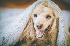 Poodle dog is lying and slepping under the blanket in bed . Stock Photography