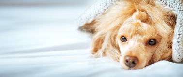 Poodle dog is lying and slepping under the blanket in bed . Royalty Free Stock Photos