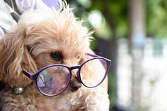 Poodle Dog. Owners love integrity Royalty Free Stock Image
