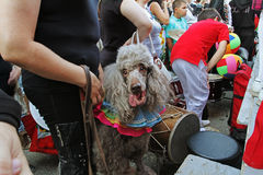 Poodle dog in the parade of circus performers `Circus cavalcade` in Volgograd. Volgograd, Russia - August 26, 2014: Poodle dog in the parade of circus Royalty Free Stock Photography