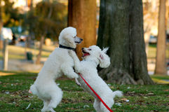 Poodle Dog Pets Stock Photo
