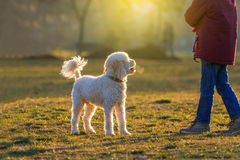 Poodle dog play with boy. White poodle dog play with boy at sunset Stock Photography