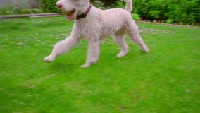 Poodle dog playing ball on green grass. Playful dog running with ball in mouth