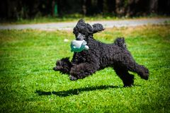 Poodle dog playing with toy royalty free stock photography