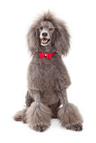 Poodle dog with red bow tie Royalty Free Stock Images