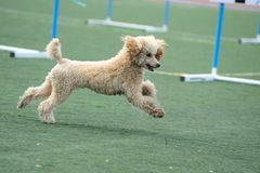Poodle dog running Stock Images