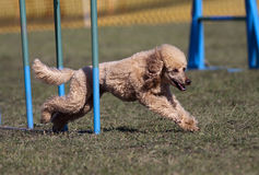 Poodle dog running Royalty Free Stock Photography