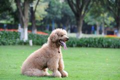 Poodle dog sitting Royalty Free Stock Photo