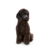 Poodle dog sitting royalty free stock photo