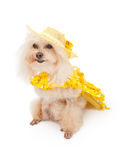 Poodle Dog in Spring Dress. A senior white Poodle dog wearing a yellow spring dress and bonnet. Isolated on a white background Royalty Free Stock Image
