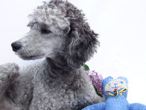 Poodle dog with teddy and lilac, portrait Stock Photography