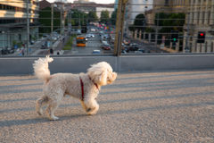 Poodle dog walking over Melchiorre Gioia road Milan - bridge. Poodle dog walking over Melchiorre Gioia road Milan on a bridge Royalty Free Stock Photography