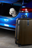Poodle dog want to travel Stock Photos