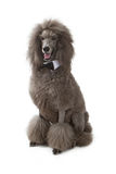 Poodle dog waring a bow tie sitting Stock Photos