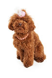Poodle dog wearing Easter hat Stock Photos