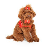 Poodle dog Wearing Fancy Harness Royalty Free Stock Photography