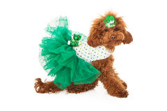 Poodle dog wearing green dress Stock Photo