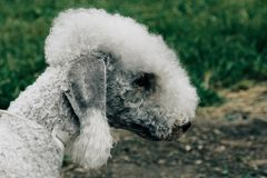 Poodle dog well grooming. White poodle dog well grooming at park Royalty Free Stock Photo